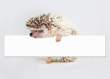 Hedgehog Holding Blank Sign Stock Images