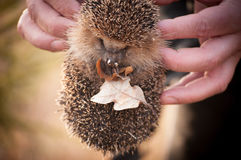 Hedgehog holding dry leaves in a human`s hands Stock Photos