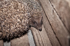 Hedgehog, home in a box, in a box. The hedgehog, home in a box, in a box Stock Image