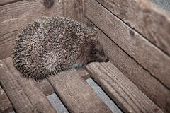 Hedgehog, home in a box, in a box. The hedgehog, home in a box, in a box Royalty Free Stock Photography