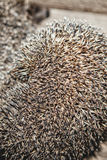Hedgehog, home in a box, in a box. The hedgehog, home in a box, in a box Royalty Free Stock Images