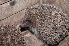 Hedgehog, home in a box, in a box. The hedgehog, home in a box, in a box Stock Photo
