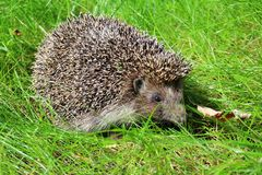 Hedgehog In The Grass On A Blurred Background. Stock Photos
