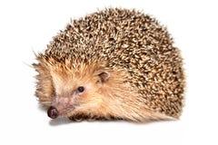 Hedgehog isolado Imagens de Stock Royalty Free