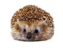 Hedgehog isolado no fundo branco O ouriço europeu Imagens de Stock