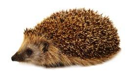 Hedgehog isolado no fundo branco O ouriço europeu Foto de Stock Royalty Free