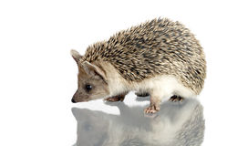 Hedgehog isolate on white Royalty Free Stock Photography