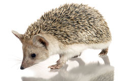 Hedgehog isolate on white Stock Photo