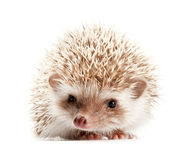 Hedgehog isolate on white background Royalty Free Stock Photos