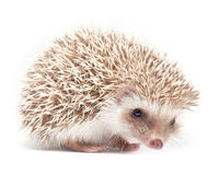Hedgehog isolate on white background Stock Image