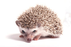 Hedgehog isolate on white background Stock Photography