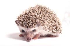 Hedgehog isolate on white background stock photography