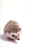 Hedgehog isolate on white background Stock Images