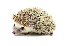 Hedgehog isolate on white background. Stock Images