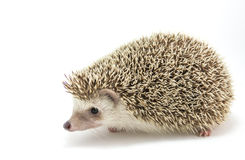 Hedgehog isolate on white background Royalty Free Stock Images