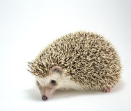 Hedgehog isolate on white background Royalty Free Stock Photos