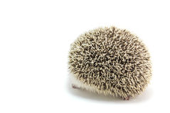 Hedgehog isolate on white background Royalty Free Stock Photo