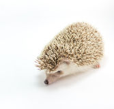 Hedgehog isolate on white background Stock Photo