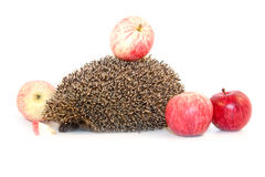 Hedgehog isolated Royalty Free Stock Images