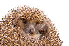 Hedgehog isolated Stock Image