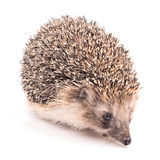 Hedgehog isolated Stock Photography