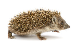 Hedgehog isolated Stock Photos