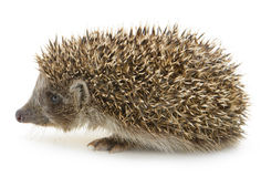 Hedgehog isolated Royalty Free Stock Photos