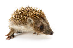 Hedgehog isolated Royalty Free Stock Photography