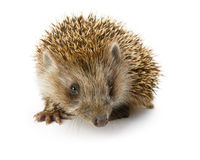 Hedgehog isolated Royalty Free Stock Image