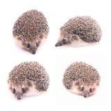 Hedgehog Isolated On White Stock Photos