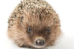 Free Hedgehog Isolated On White Background Royalty Free Stock Photography - 146963067
