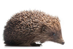 Hedgehog isolated on white Stock Images