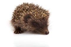 Hedgehog. Isolated on white background Stock Images