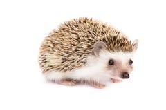Hedgehog isolated Stock Photo