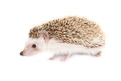 Hedgehog isolated Stock Image