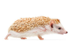 Hedgehog isolated on white background Stock Image