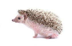 Hedgehog isolated on white background royalty free stock photo