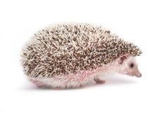Hedgehog isolated on white background stock photography