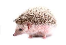 Hedgehog isolated on white background royalty free stock images