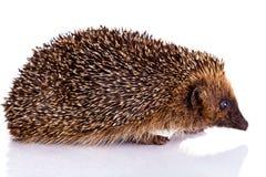 Hedgehog isolated on white background animal Stock Image
