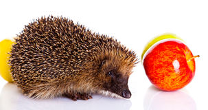 Hedgehog isolated on white background animal and apples Stock Photos