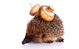Hedgehog isolated on white background animal and mushroom Royalty Free Stock Photo