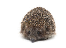 Hedgehog isolated on white background close up. Stock Photos
