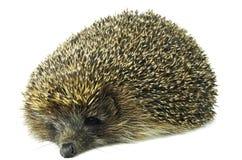 Hedgehog isolated on white. Lazy hedgehog isolated on white Royalty Free Stock Photo
