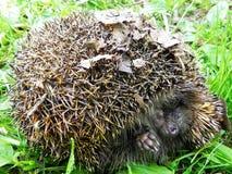hedgehog L'istrice si è accartocciato e mostra i suoi aghi fotografia stock