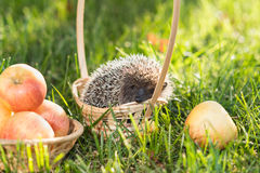 Hedgehog lat. Erinaceus europaeus sitting in a basket on the grass next to the apples Royalty Free Stock Photos
