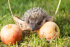 Hedgehog lat. Erinaceus europaeus in a small basket with apples on the grass Stock Photo