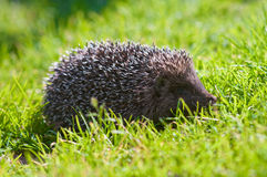 Hedgehog on a lawn Stock Photos