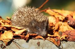 Hedgehog in leaves Stock Images