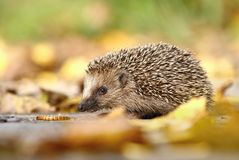 Hedgehog in leaves Stock Photography